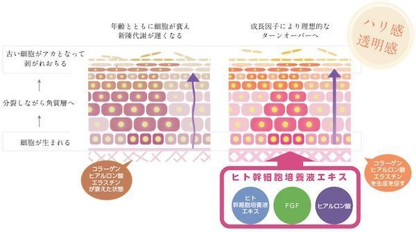 ヒト幹細胞培養液エキスの肌への効果.jpg